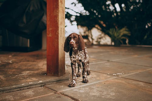 Brown and White Dog Standing Behind Wooden Brown Post