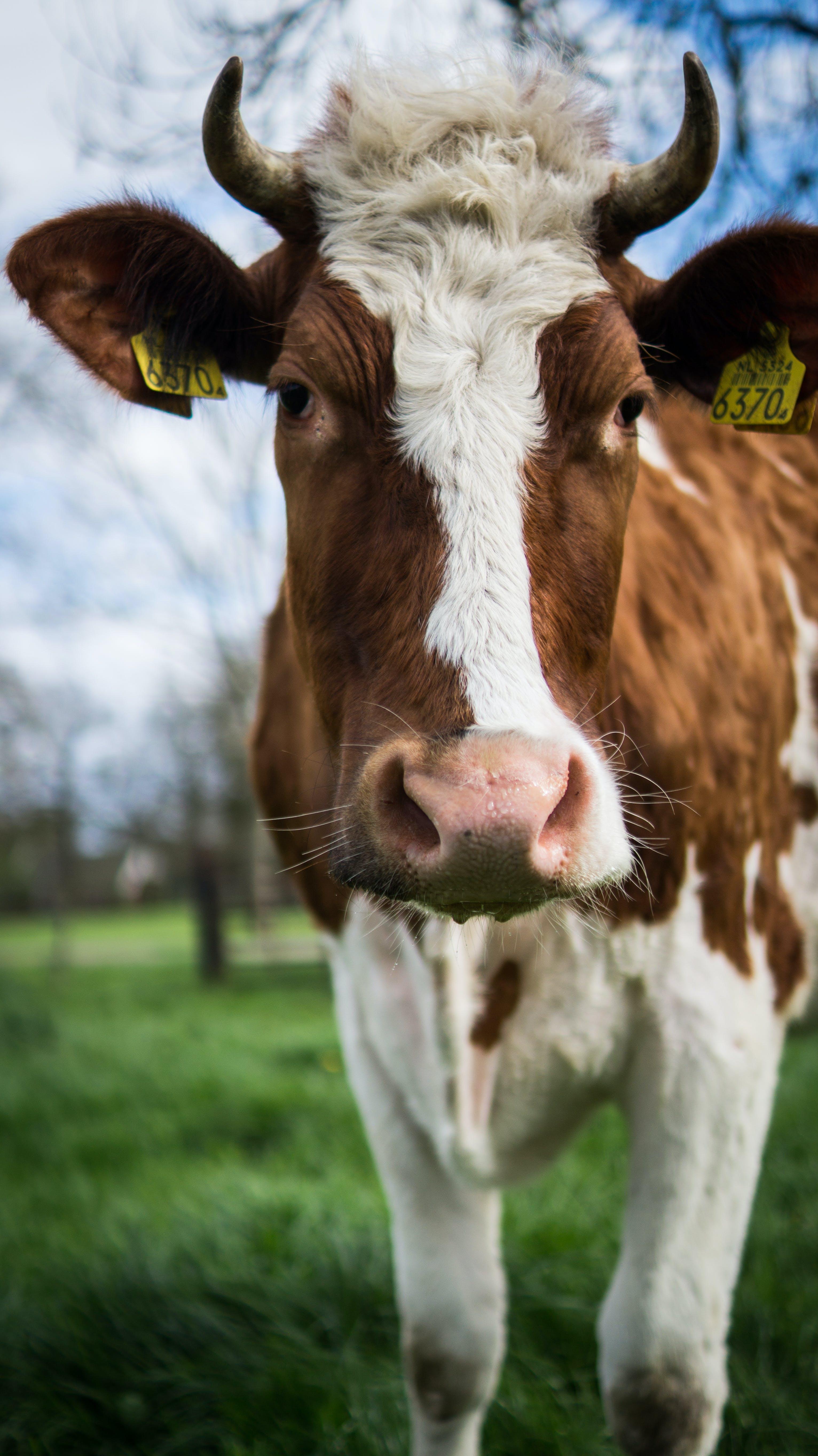 Free stock photo of animal, farm, meadow, milk