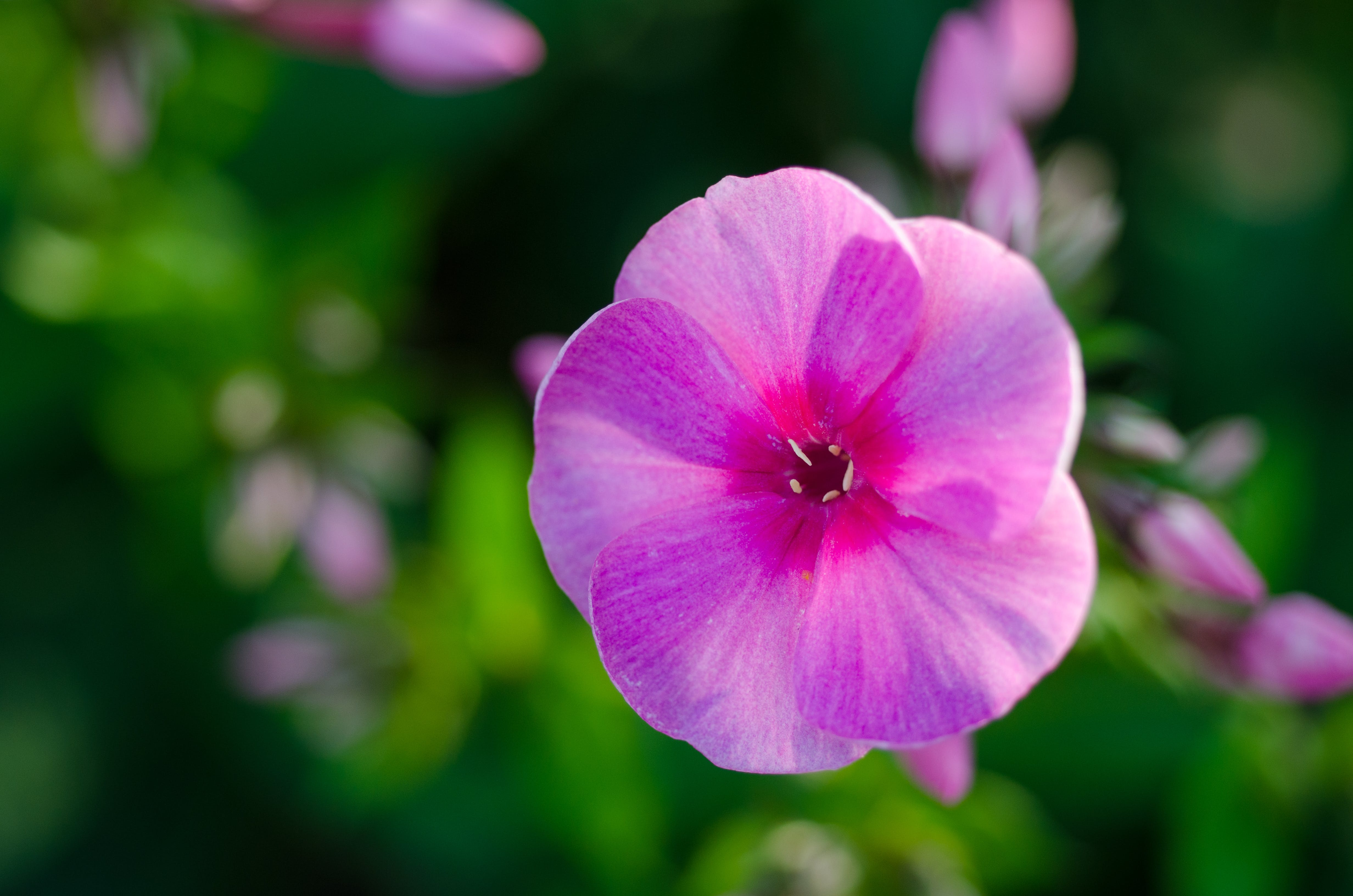 Selective Focus Photograph of Pink Petaled Flower