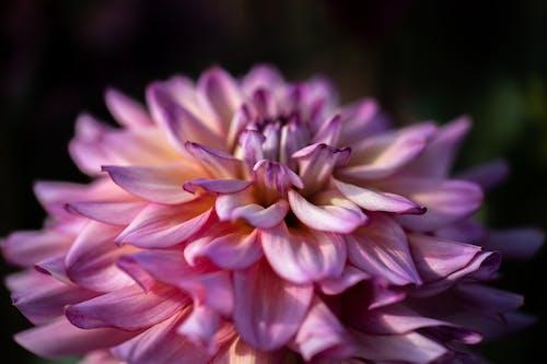 ダリア, ピンクの花, フローラ, マクロの無料の写真素材