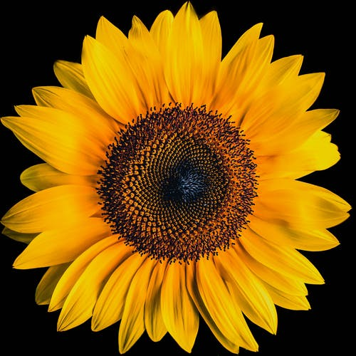 Close Up Photography on Yellow Sun Flower