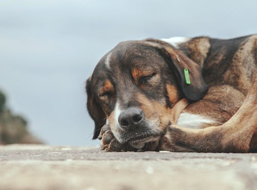 Close-Up Photo of Sleeping Dog