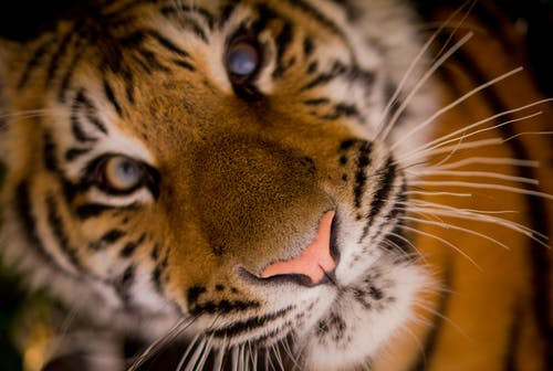 Tiger Cub Close-up Photography