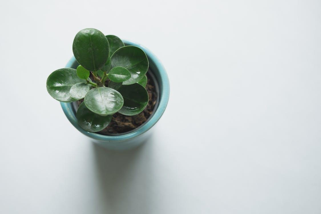 Green Leafed Plant on Blue Vase