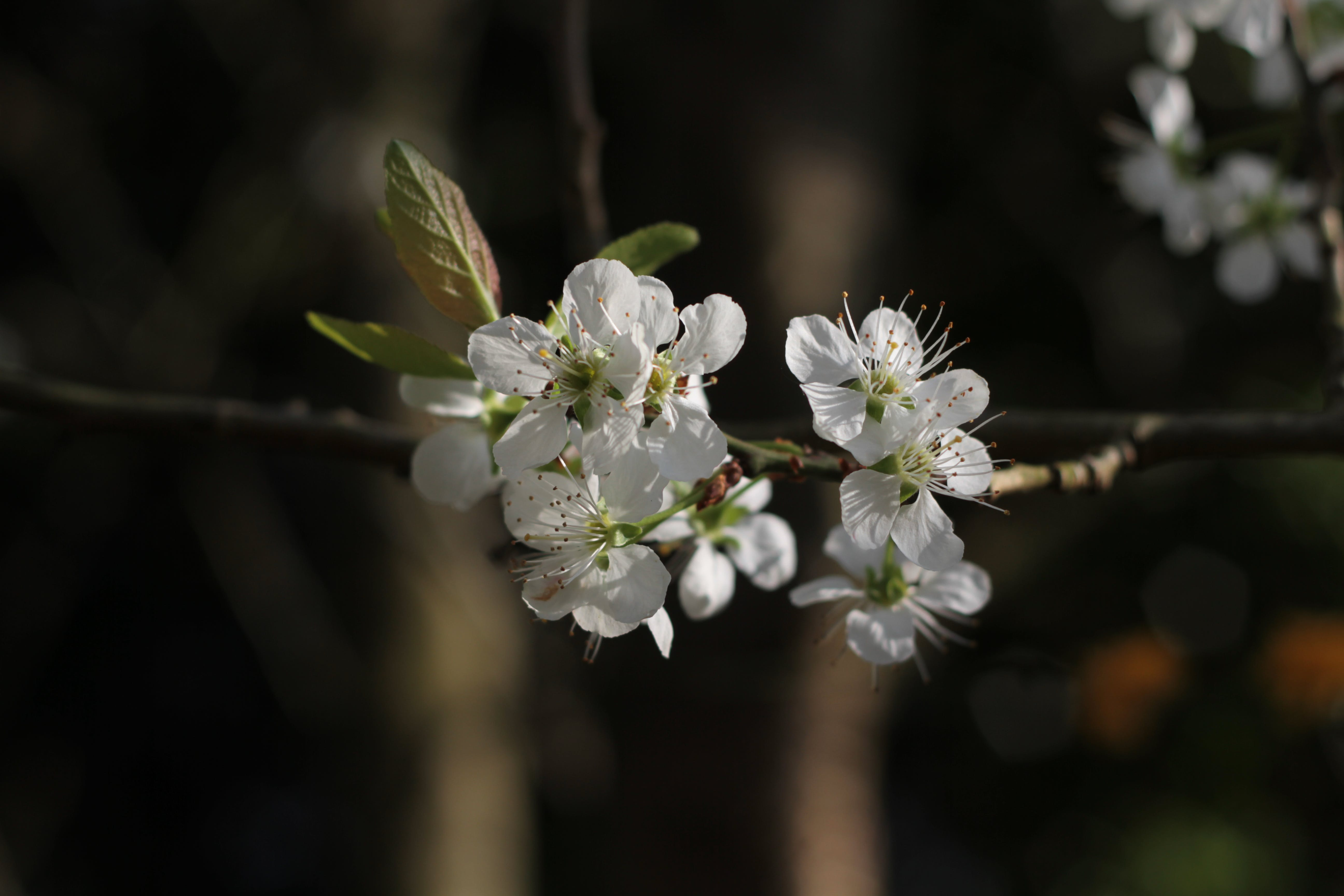 Free stock photo of blossom, england, flowers, greengage