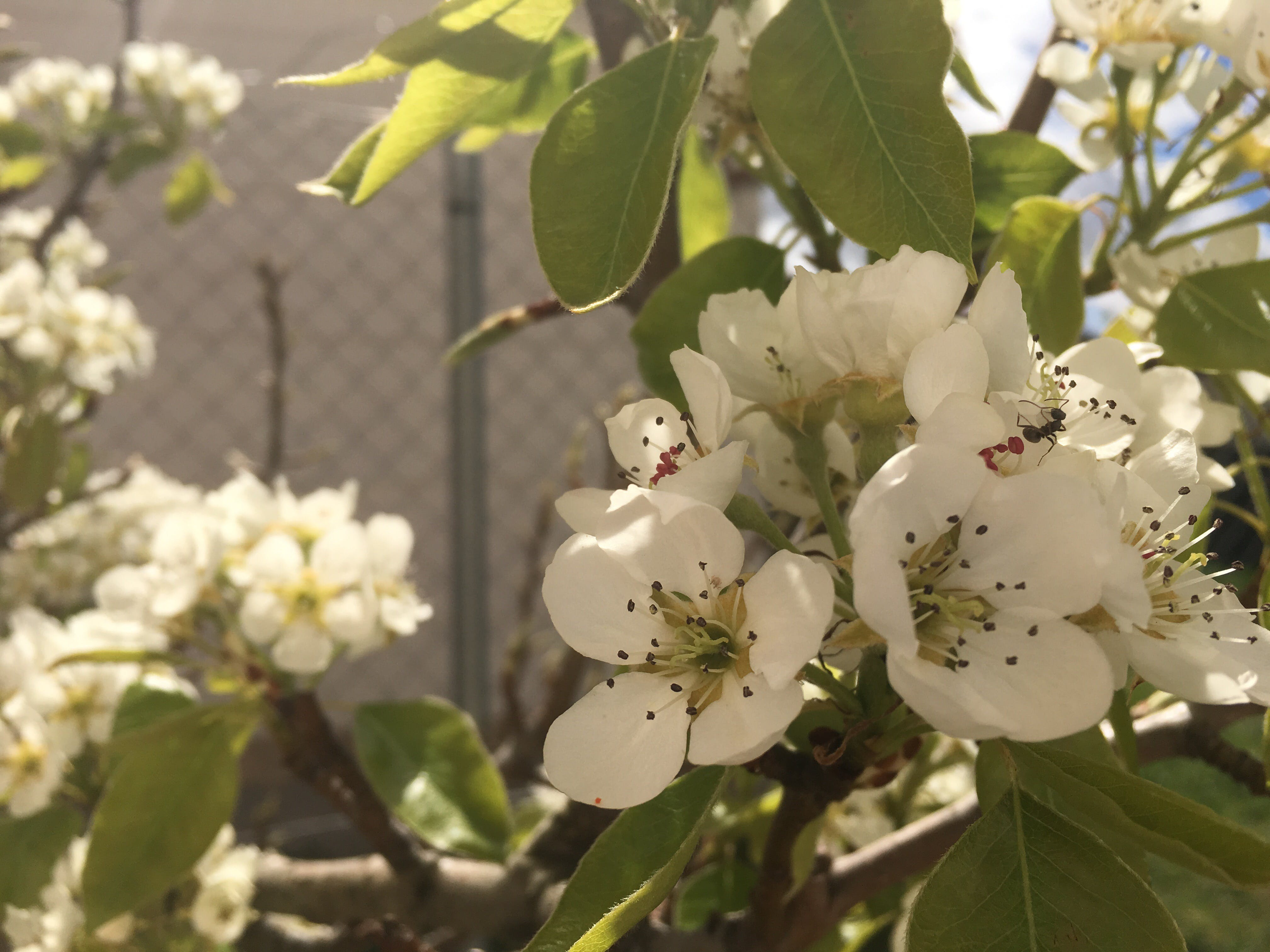 Foto d'estoc gratuïta de arbre, Formiga, pera