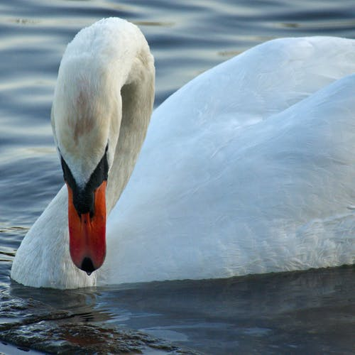 Free stock photo of swan