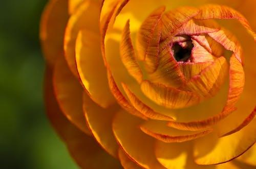 Photos gratuites de centrale, fleur, fleur de renoncule, fleurir
