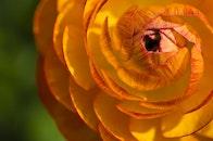 yellow, petals, plant
