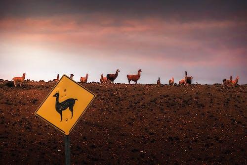 Herd Of Llama on Brown Field