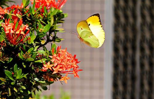 Základová fotografie zdarma na téma barevný, hmyz, ixora coccinea, křídla