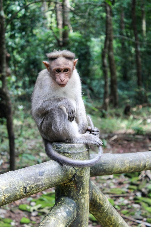 Brown Monkey Sitting on Wooden Railing