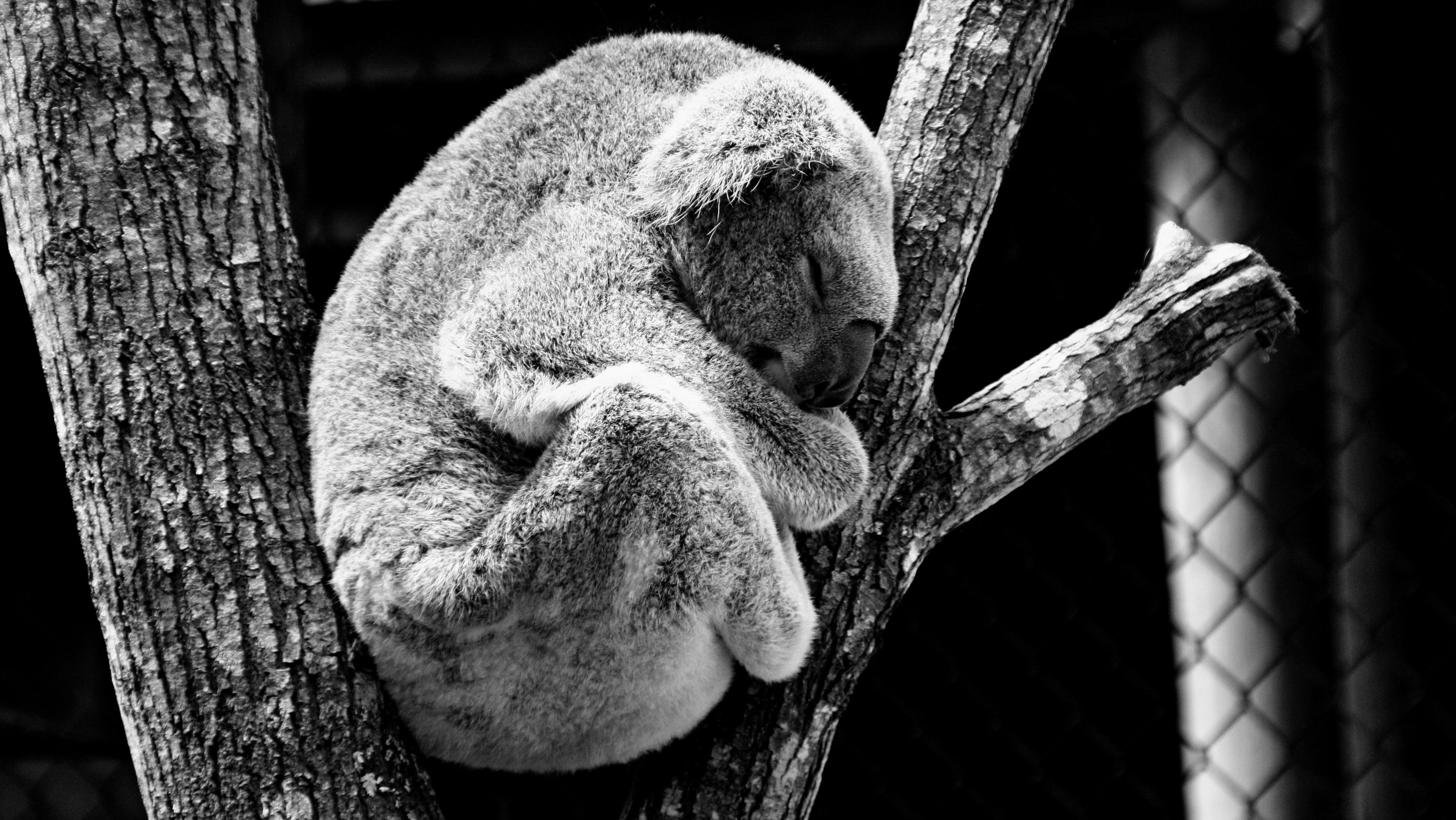 Greyscale Photography of Koala in Between Tree Trunks