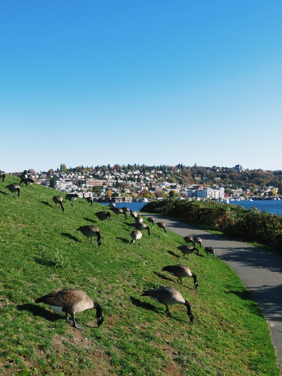 Free stock photo of animals, geese, hill
