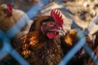 animal, chicken, cock