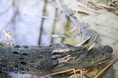 Black Crocodile on Body of Water