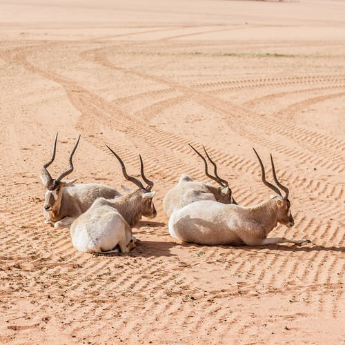Three Antelopes on Brown Sand