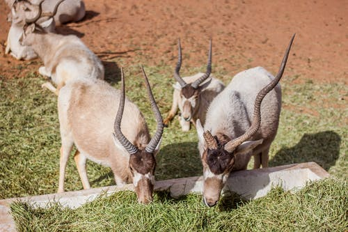 White and Brown Antelope Lying and Eating on Ground