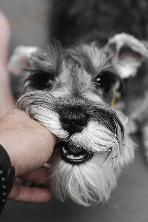Person Holding Black and White Miniature Schnauzer Puppy