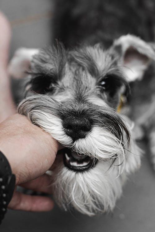 Person Holding Black and White Miniature Schnauzer Puppy