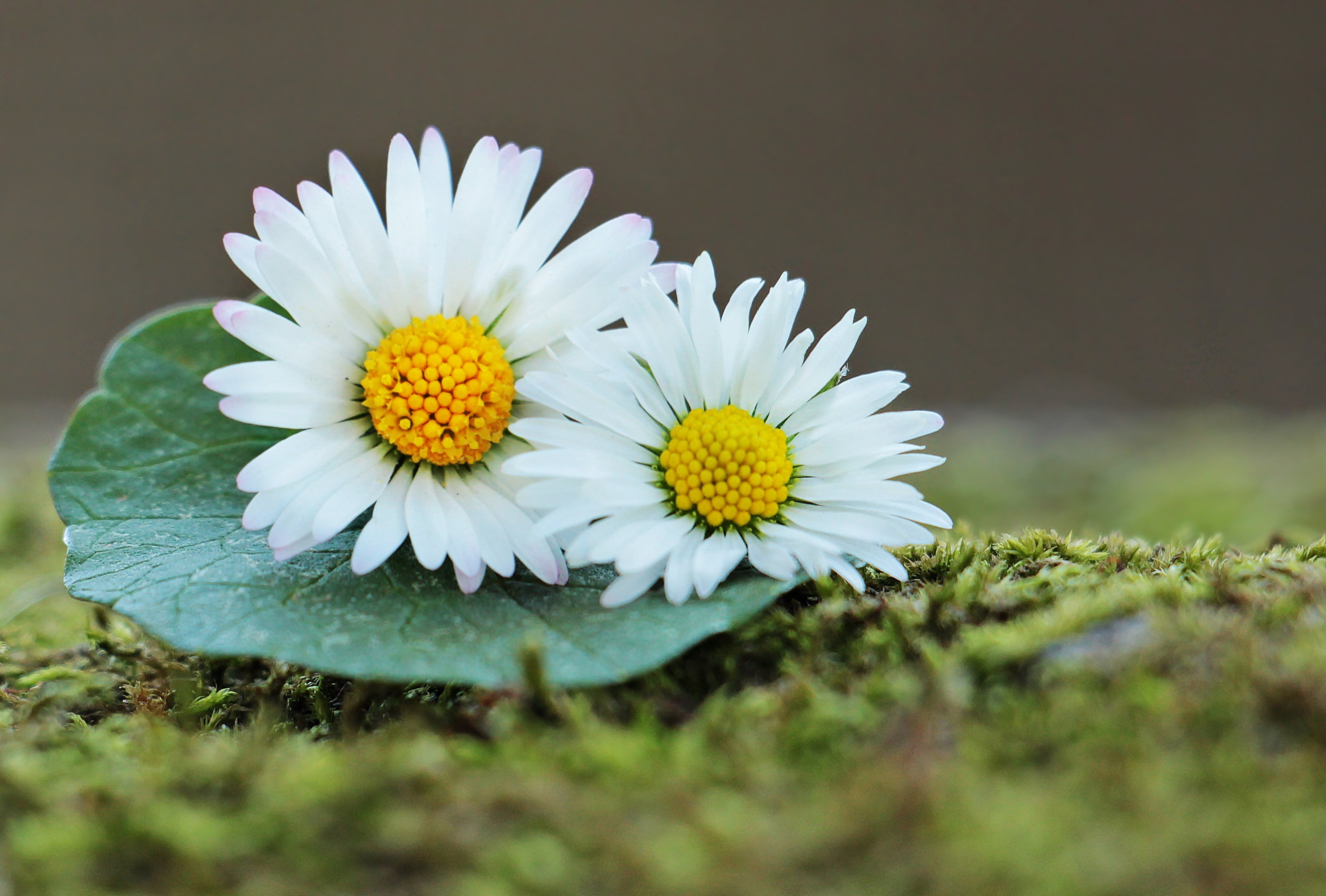 Free stock photo of bloom, daisies on a sheet of, daisy, floral greeting