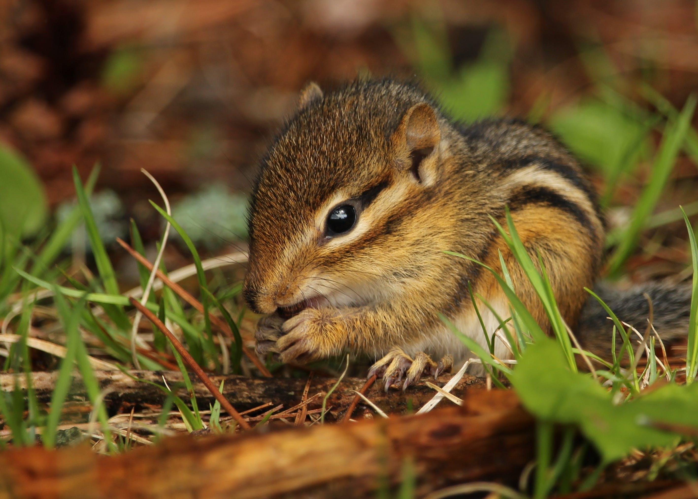 Fotos de stock gratuitas de adorable, animal, ardilla rayada, bebé