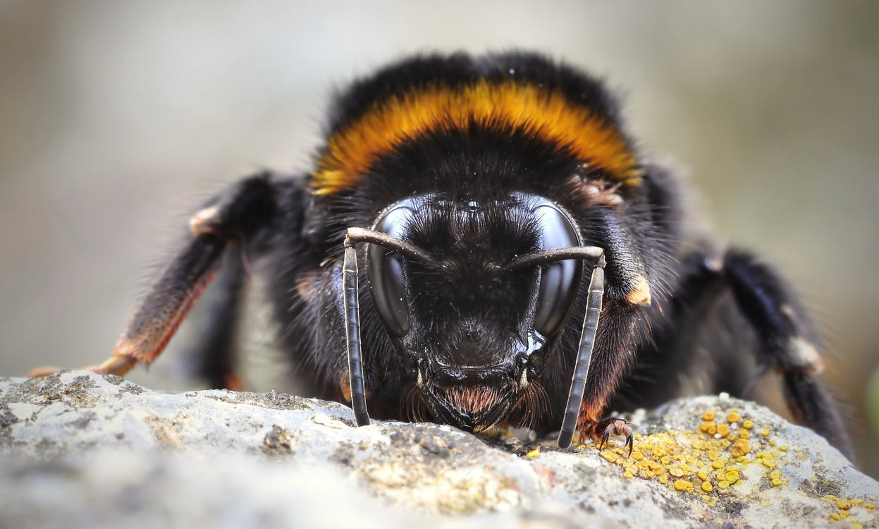 Closeup Photography of Bumble Bee Perching on Rock