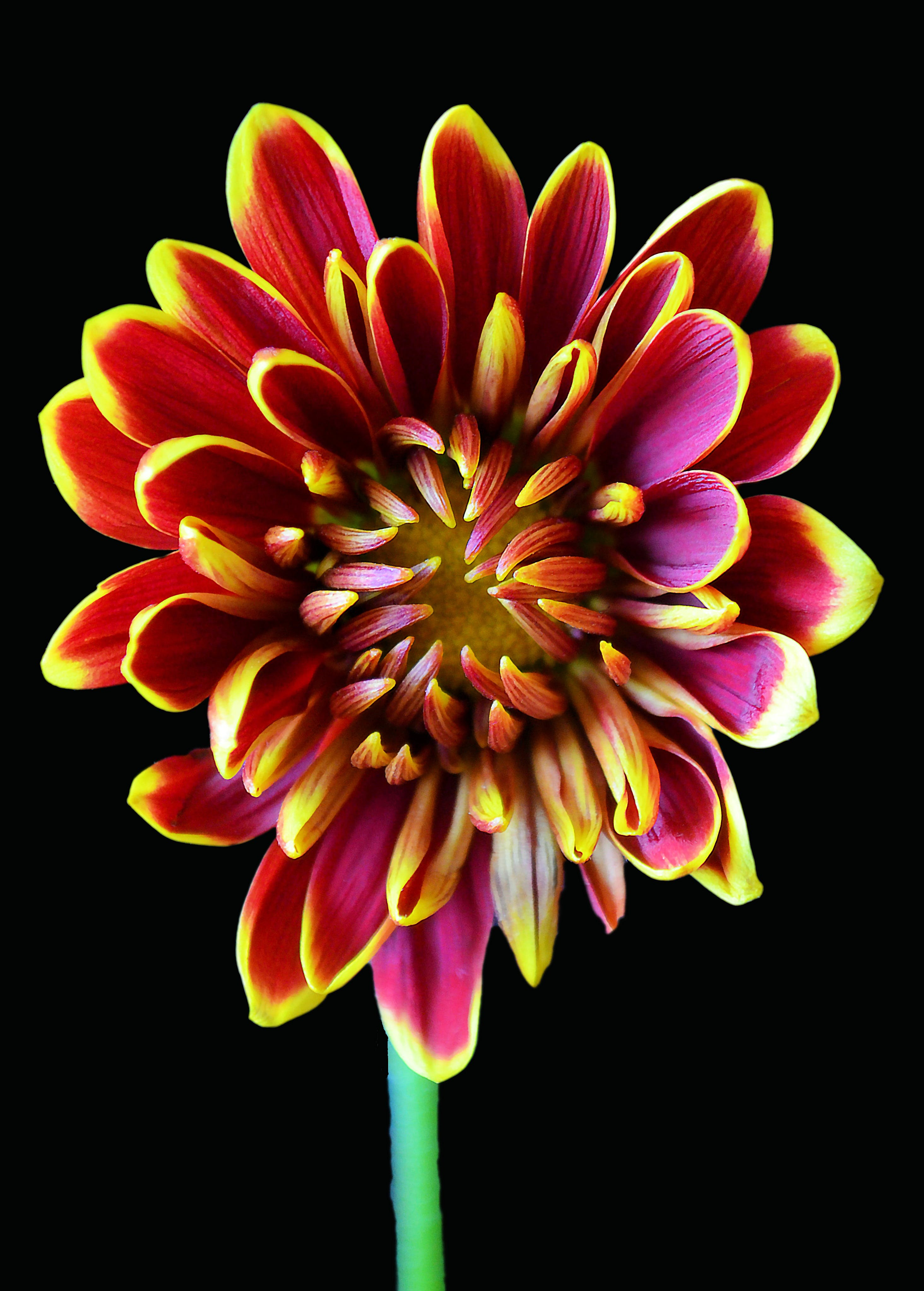 Red-and-yellow Petaled Flower