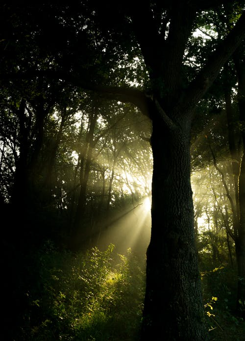 Trees Against Crepuscular Rays