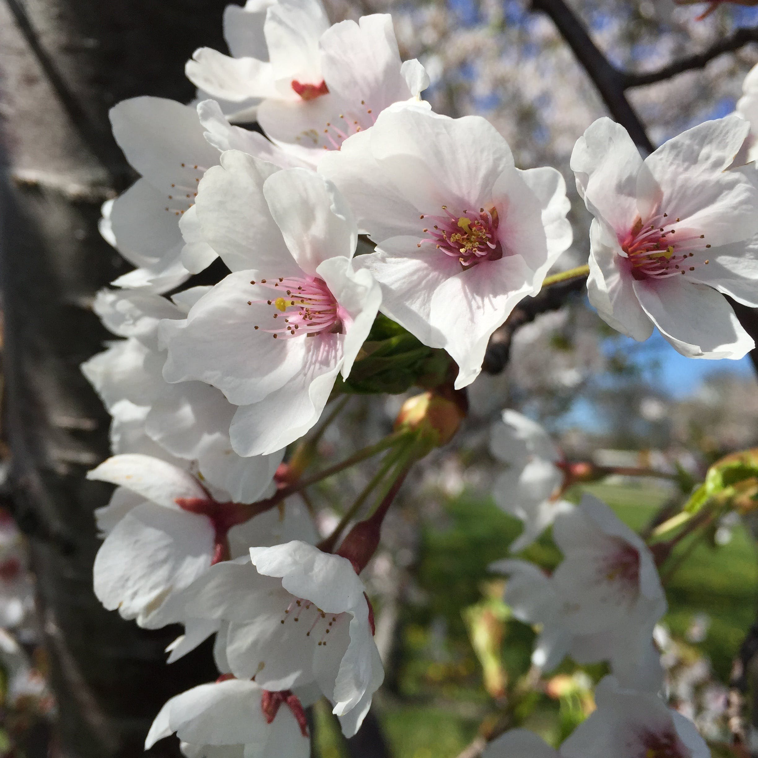 Free stock photo of bloom, blooming, blossoming, blossoms