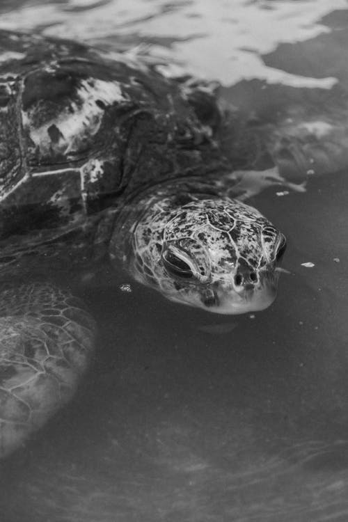 Black and White Photography of a  Turtle on Water