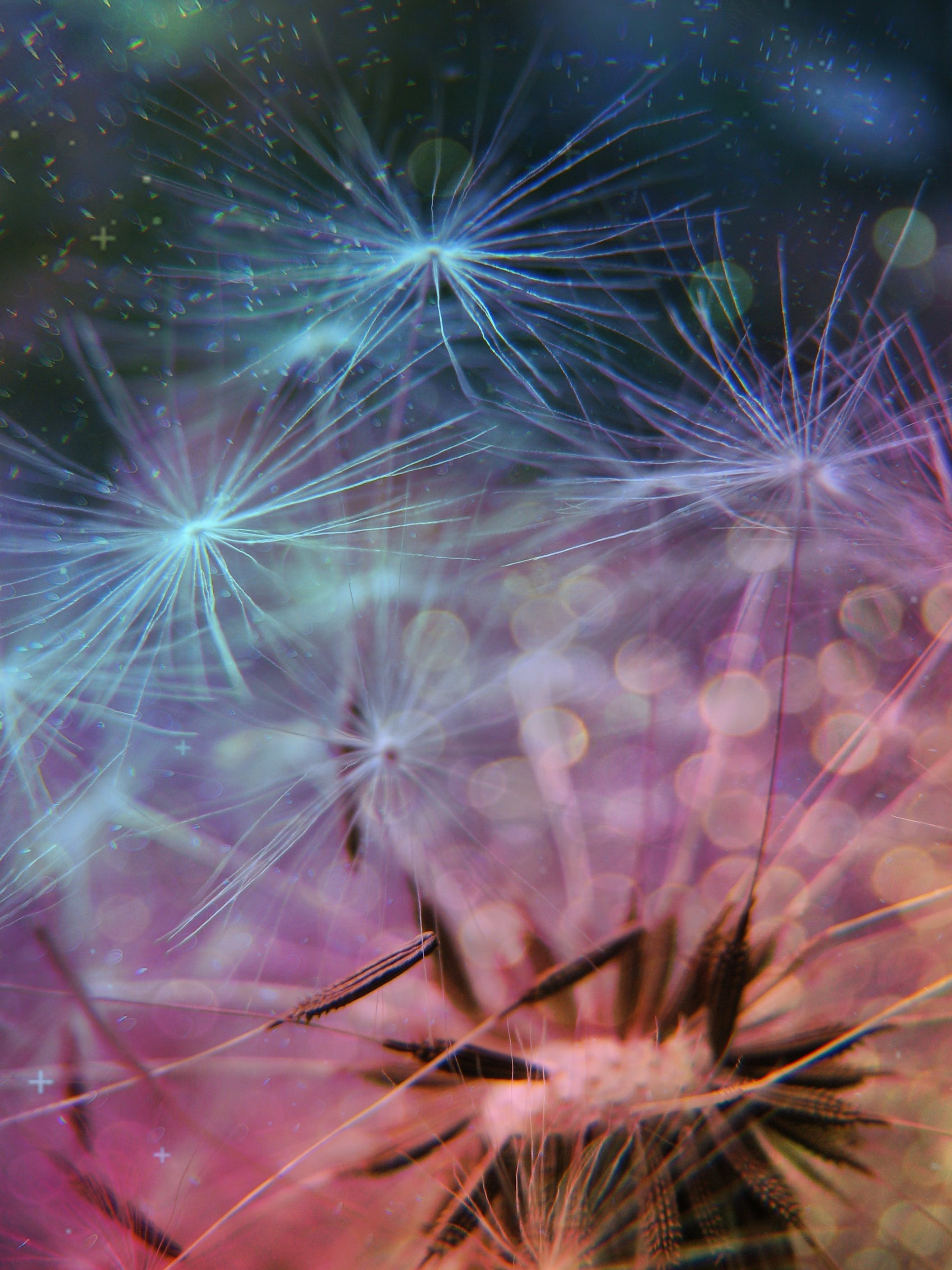 Close Up Photo of Dandelions