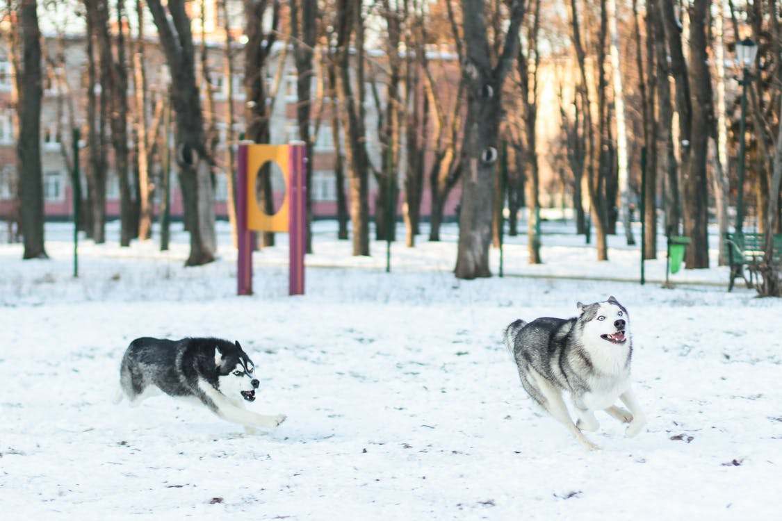 Two Siberian Husky Running In Snowy Park