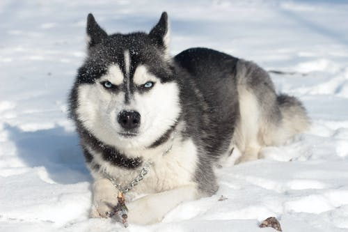 Siberian Husky Lying On the Snow Covered Ground