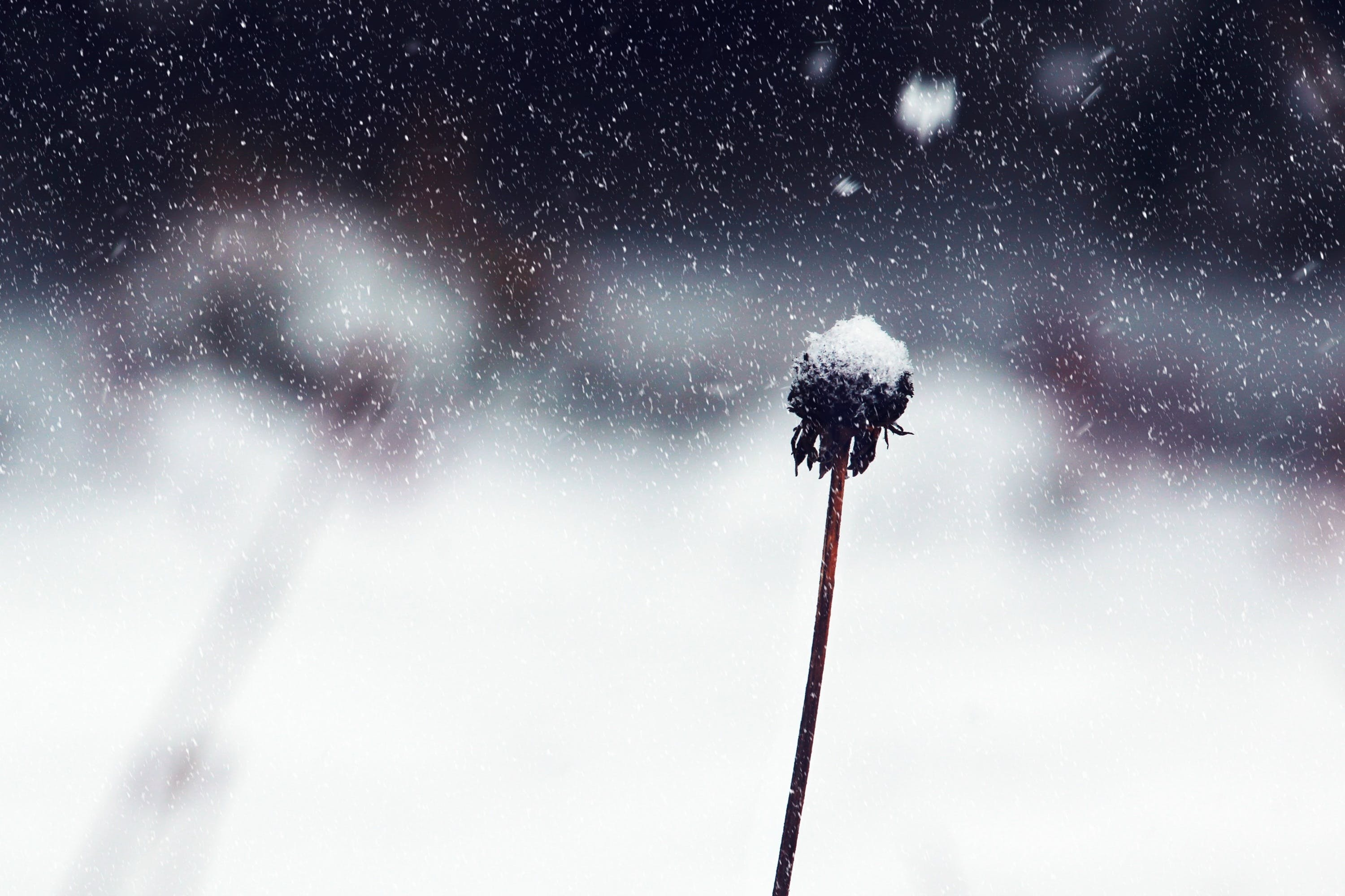 Withered Flower Cover With Snow