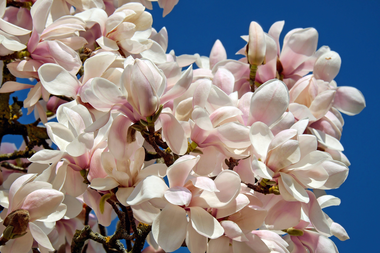 Free stock photo of flowers, bush, spring, tree