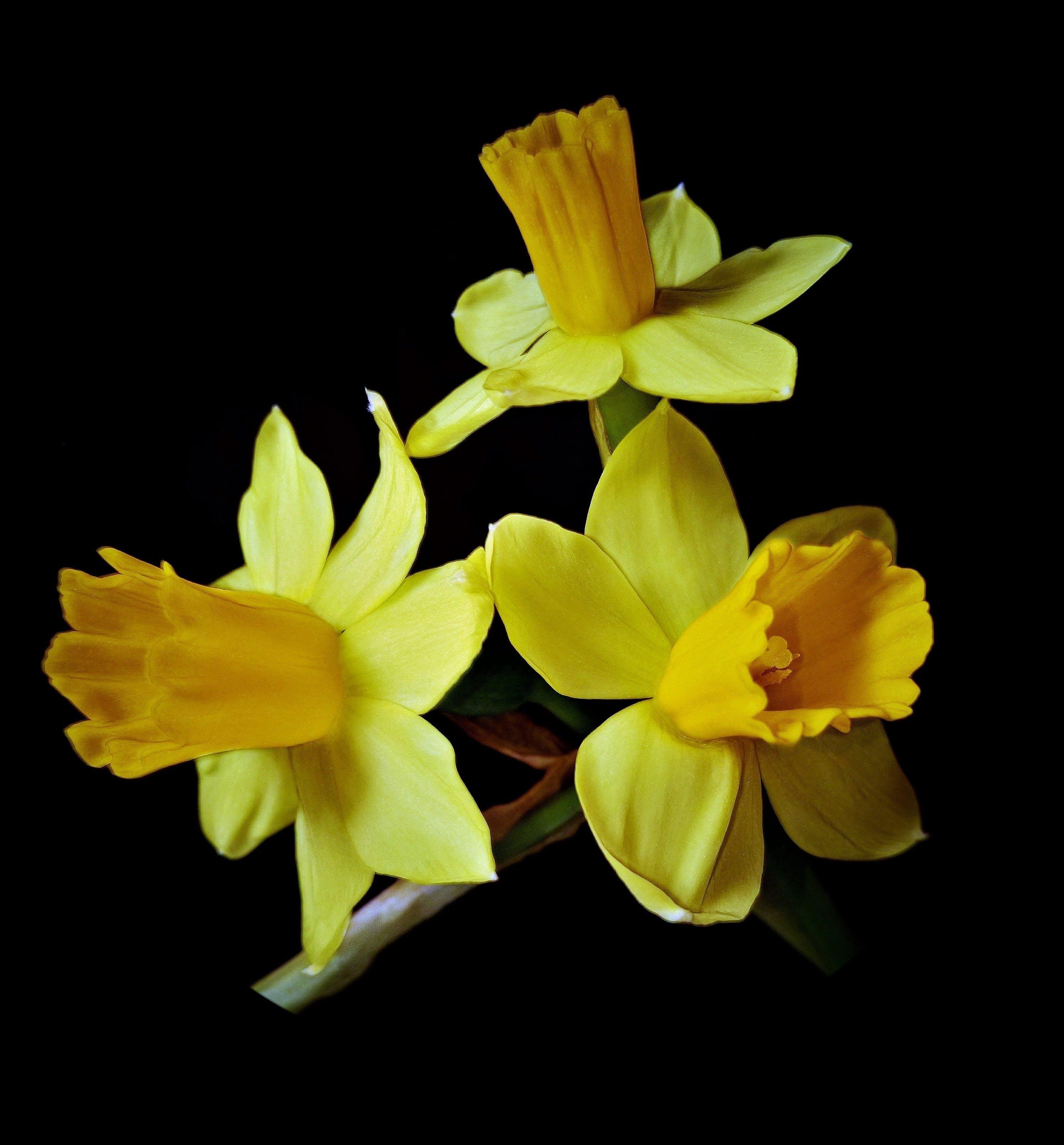 Free stock photo of close, daffodils, dark background, inside darker bell flowers