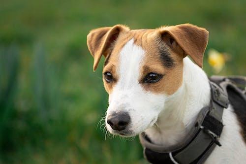Δωρεάν στοκ φωτογραφιών με jack russell terrier, αξιολάτρευτος, γαλήνιος, γήπεδο