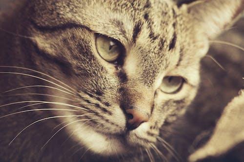 bakmak, burun, çok sevimli, ev kedisi içeren Ücretsiz stok fotoğraf