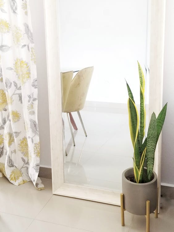Green Snake Plant on White Ceramic Pot