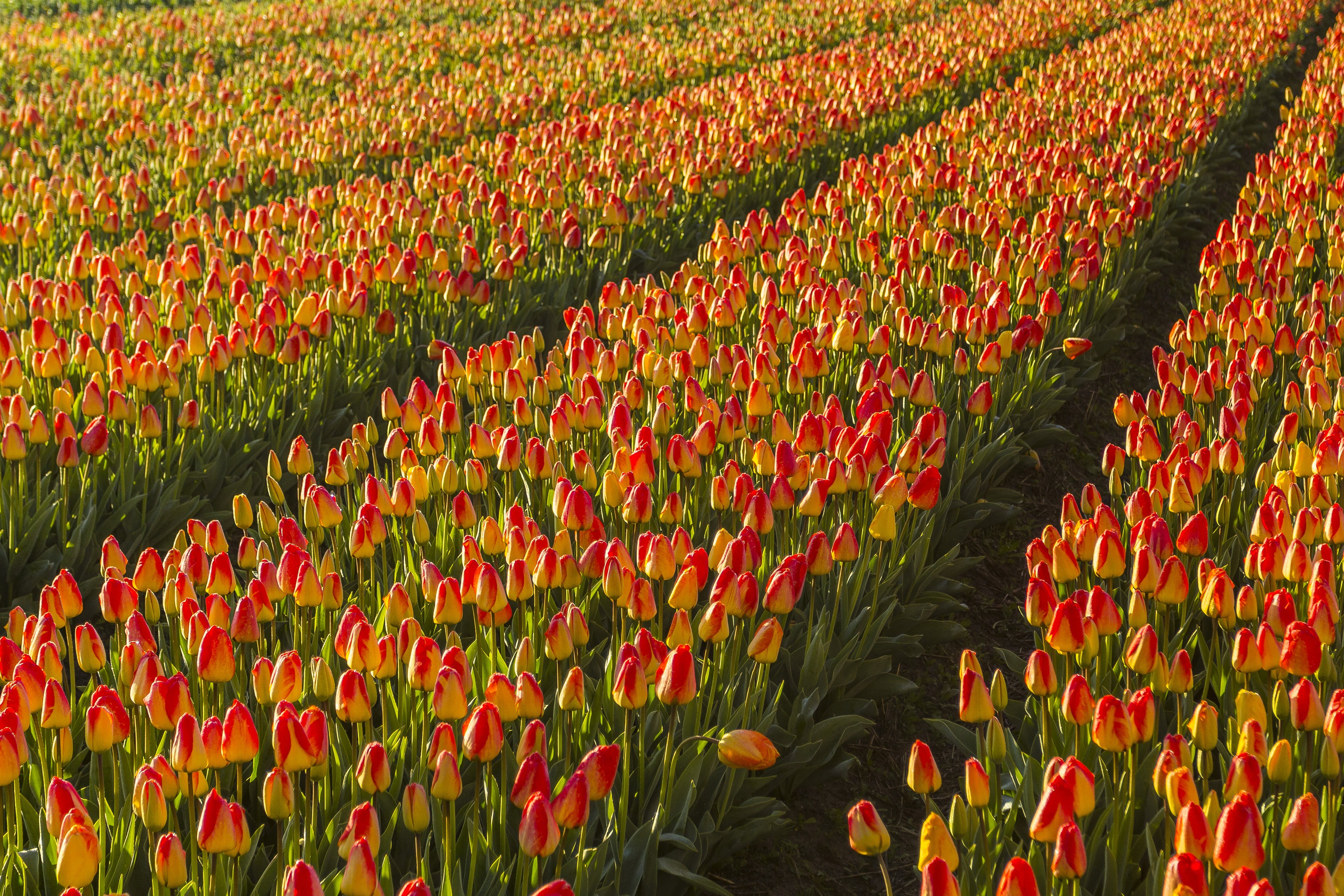 Bed of Tulip Flowers