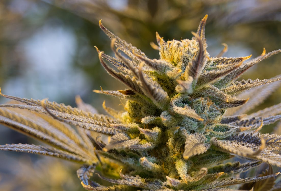 印度大麻, 合法化, 大麻