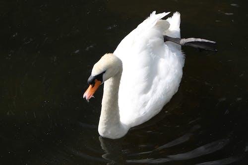 Free stock photo of animal park, london city, swan