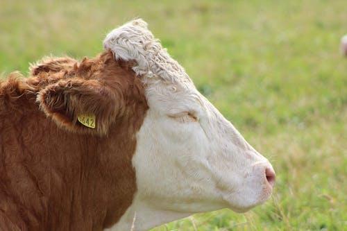 乾草地, 動物, 哺乳動物, 國家 的 免费素材照片