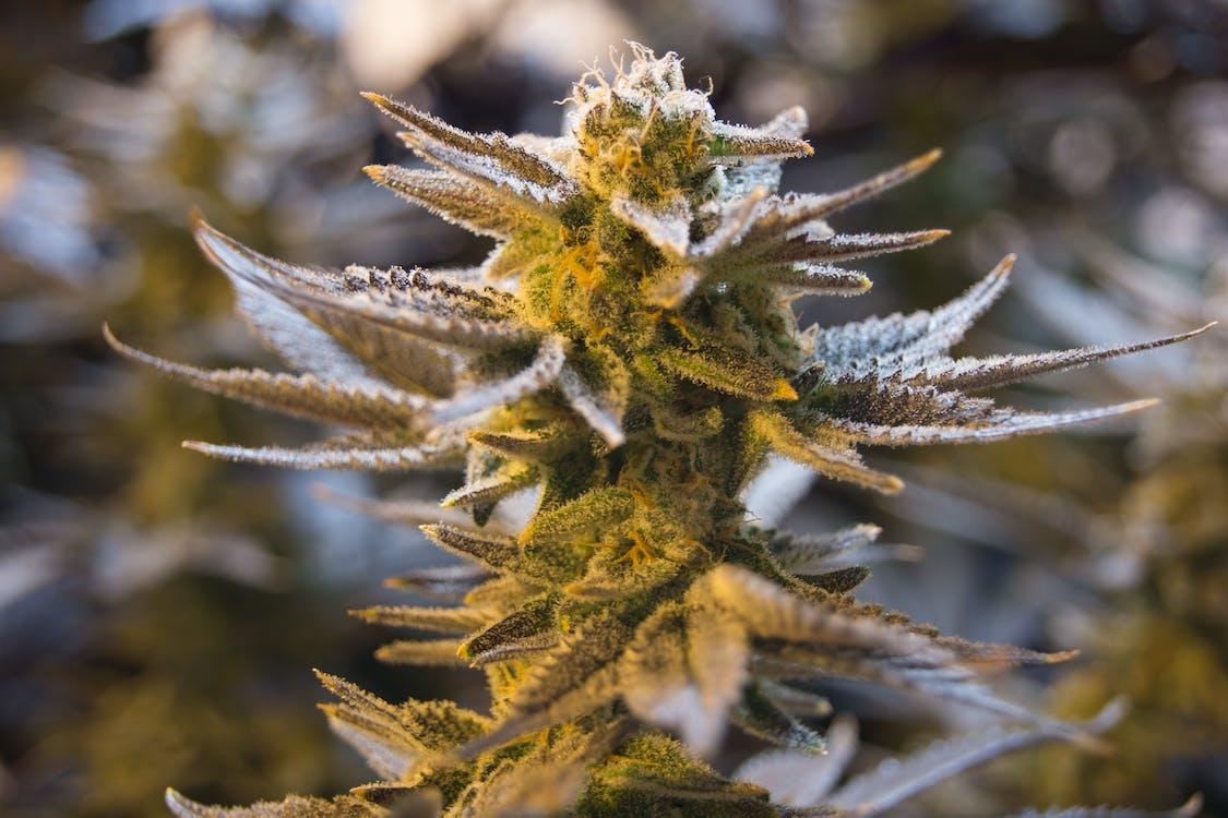 Free stock photo of aeroponics, bud, cannabis