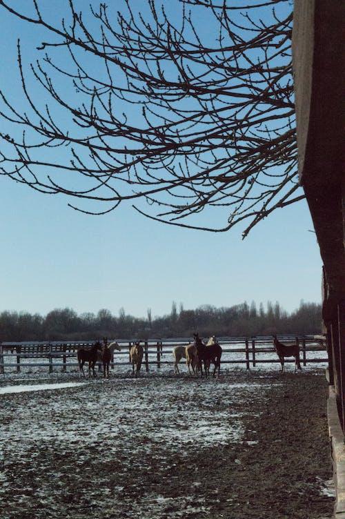 Free stock photo of farm, horses, rodeo, rural