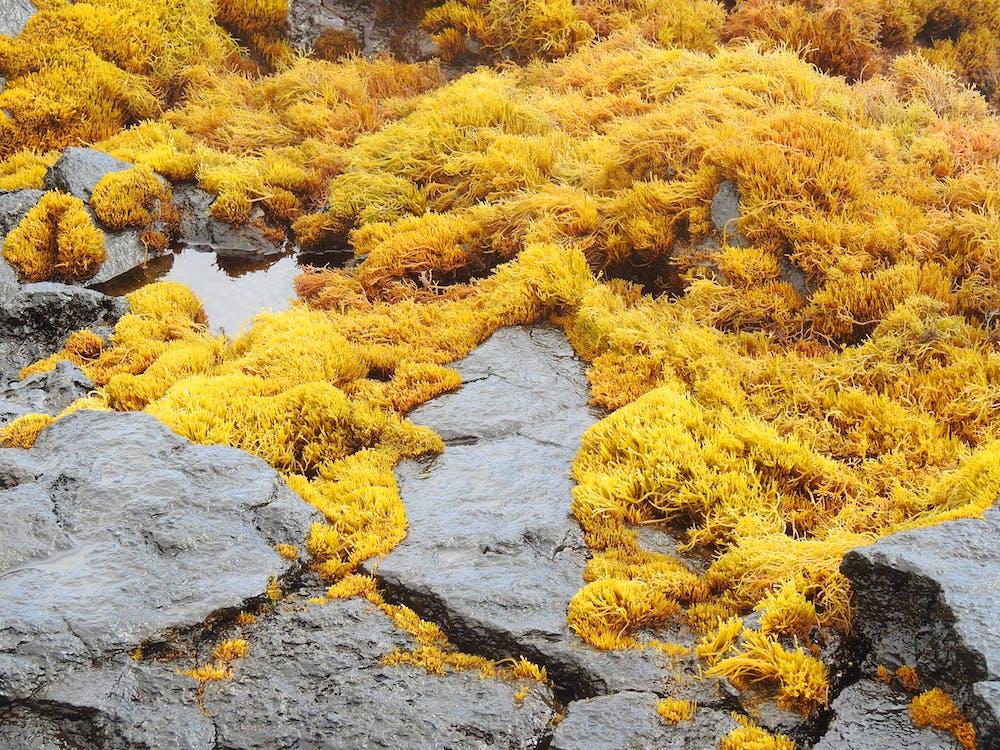 Algas Amarillas Mojadas En La Orilla Rocosa