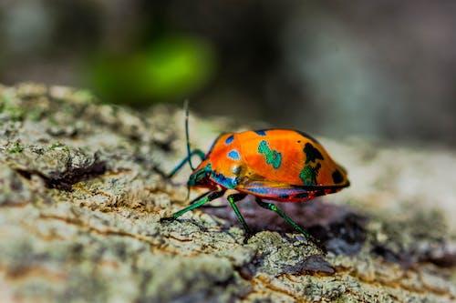 Бесплатное стоковое фото с beetle, апельсин, жук