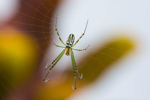 Зеленый и черный паук на паутине в фотографии крупным планом