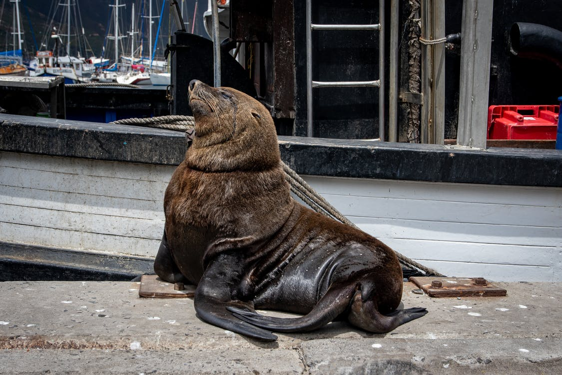 Brown Seal Lying on Ground
